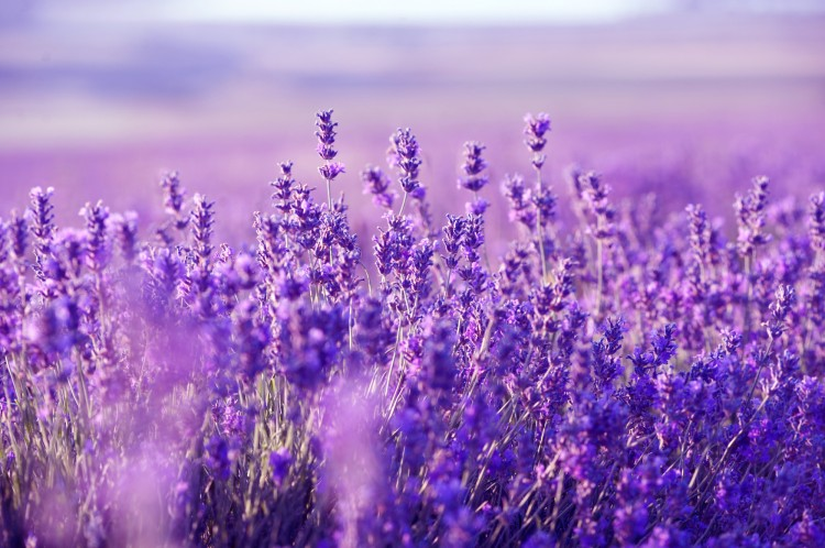 Lavender-Picture-2.jpg