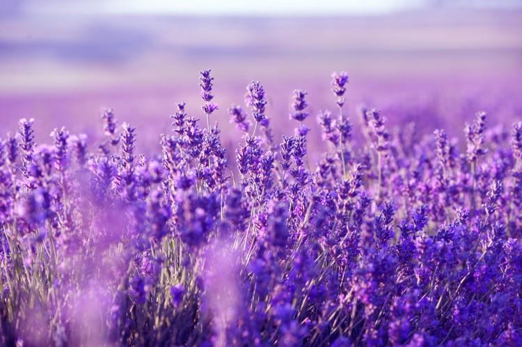 Lavender-Picture-2.jpg