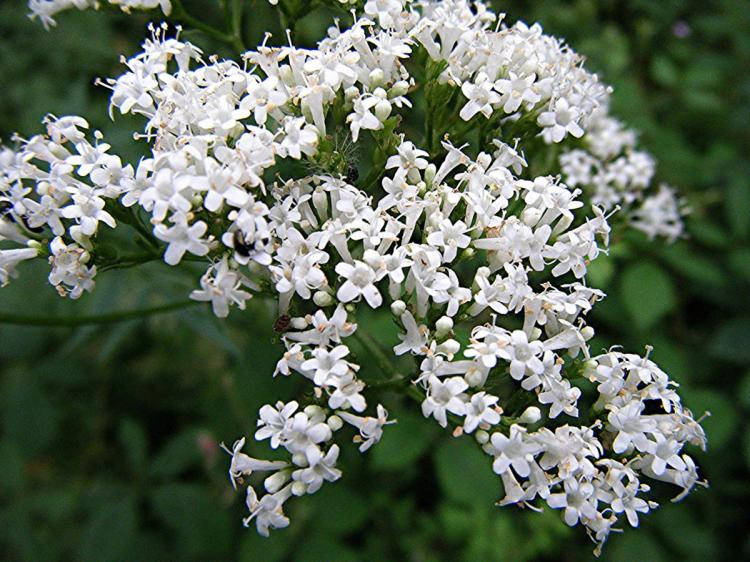 Valerian, Common (Valeriana officinalis) Freeholt Wood Sapcote SP 4611 9390 (taken 23.7.2008).JPG